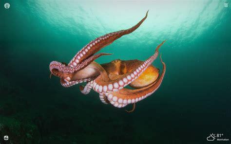 Octopus Hd Wallpapers New Tab Impressive Nature