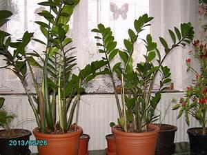 Pflanzen Wenig Licht : pflanze die wenig licht braucht wer weiss ~ Markanthonyermac.com Haus und Dekorationen