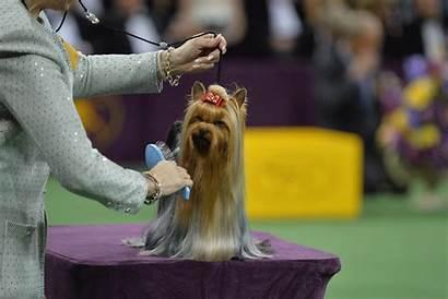 Dog Yorkie Hair Westminster Exclusive Re Self