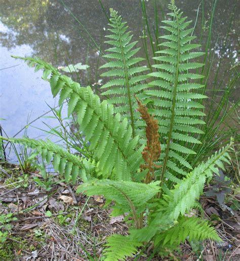 cinnamon fern using georgia native plants ferns that work for you