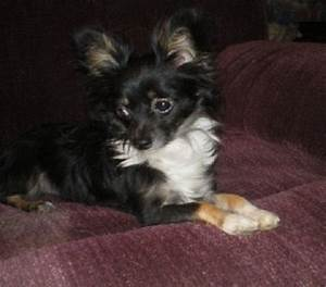 1000+ ideas about Long Haired Chihuahua Puppies on ...