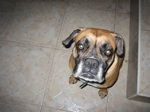 feeding your boxers with the best dog food for boxers With best dog food for boxers