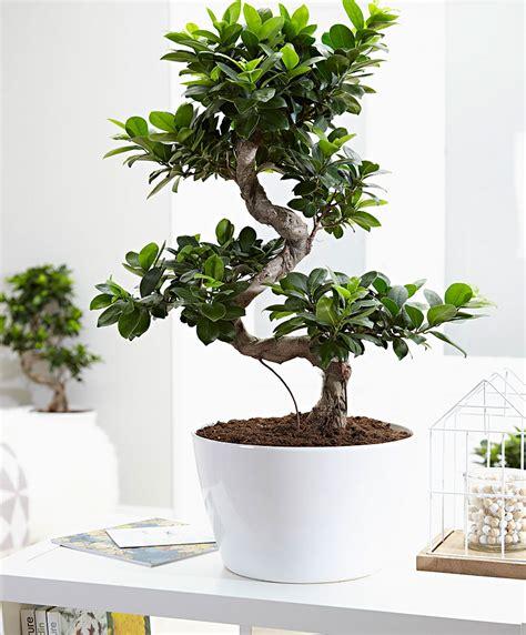 ficus ginseng bonsai buy indoor plant bonsai ficus xl ginseng at www bakker