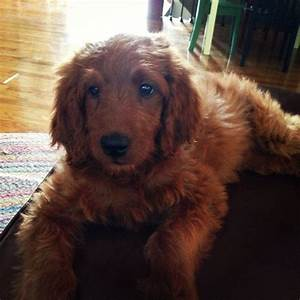 Ruby the Irish Doodle ~ Oh my ...... an Irishdoodle ...