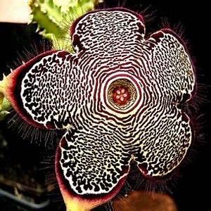 Plante Succulente Espèces Représentatives : edithcolea grandis plante succulente rare graines ~ Nature-et-papiers.com Idées de Décoration