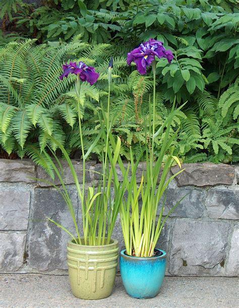 container culture mt pleasant iris farm