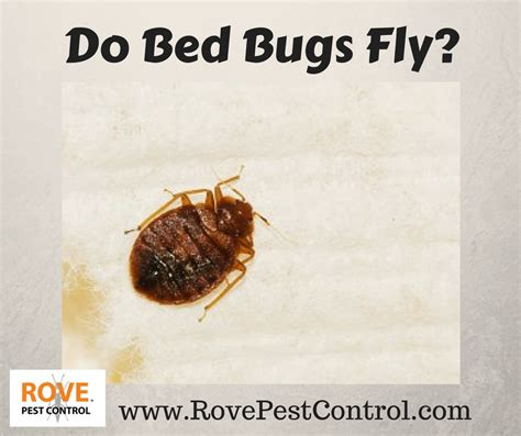 do bed bugs fly rove pest