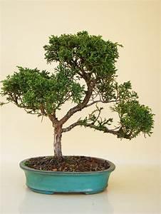 Chinesischer Wacholder Bonsai : knuffige wacholder genki bonsai ~ Sanjose-hotels-ca.com Haus und Dekorationen
