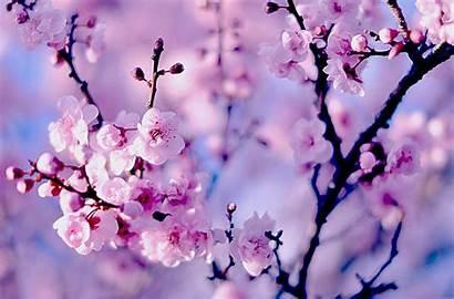 Cherry Wallpapers Blossoms Blossom Desktop Cave