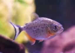 Baby piranhas go on sh...