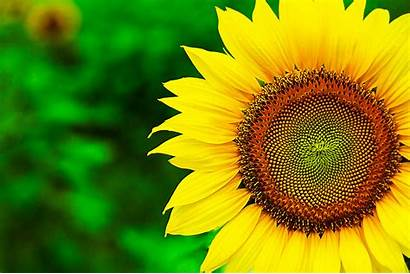 Background Sunflower Desktop Laptop Cool Natural