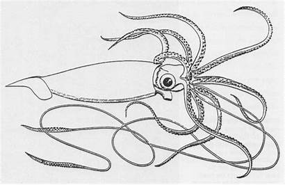 Squid Giant Coloring Pages Bay Colossal Logy