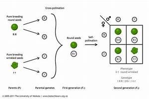 Inheritance Of A Single Trait In Peas  U2014 Science Learning Hub