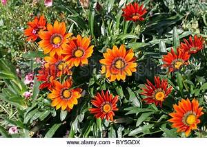 Gazania Hybrid Garden Origin Asteraceae Bright Orange