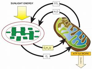 Atp In Photosynthesis Or Cellular Respiration