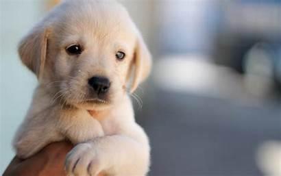 Labrador Retriever Golden Puppy Dog Pets Puppies