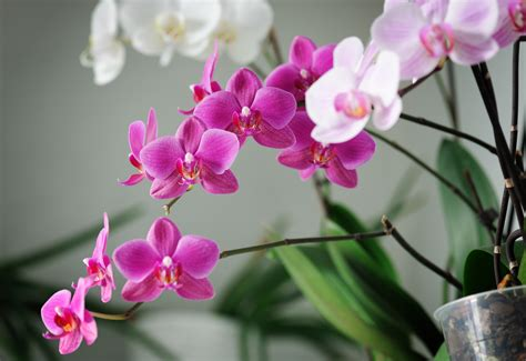 orchid care indoor ideal for indoors may moth orchid life is a garden