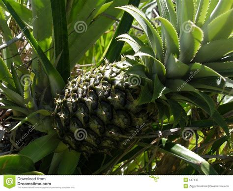 Green Pineapple Growing On A Bush Royalty Free Stock Photo