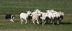 File Border Collie sheepdog trial