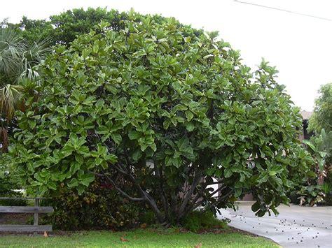 large ficus tree ficus lyrata 3651
