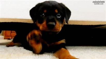 Rottweiler Puppies Puppy Gifs Adorable Encourage During