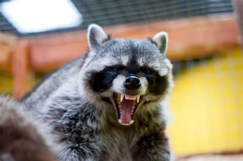 And in current affairs: Rogue raccoon blacks out city ...