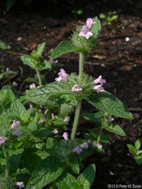 clinopodium vulgare wild basil minnesota wildflowers