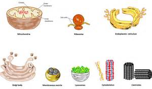 Cell Organelle Functions