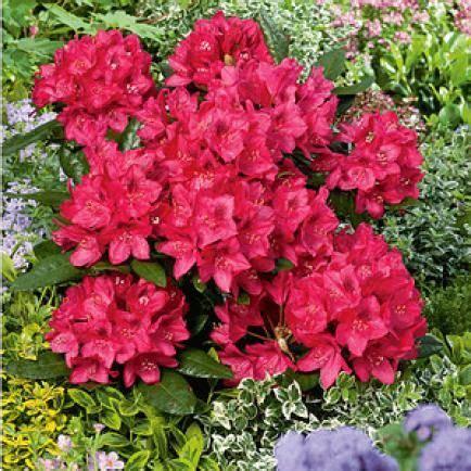 Wann Kann Rhododendron Schneiden by Rhododendron Wann Pflanzen Rhododendron Schneiden 3