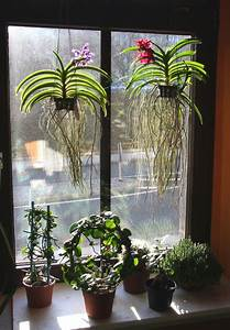 Luftwurzeln Bei Orchideen : vanda orchideen wild cherry und thai sky majas pflanzenblog ~ Frokenaadalensverden.com Haus und Dekorationen