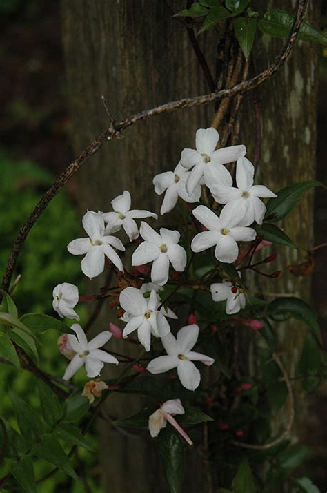 climbing jasmine jasminum polyanthum  denver