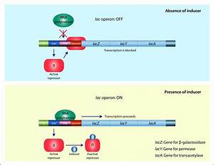 Gene Action - Operon Hypothesis