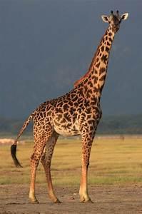 Giraffe | Animal Planet's The Most Extreme Wiki | FANDOM ...  Giraffe