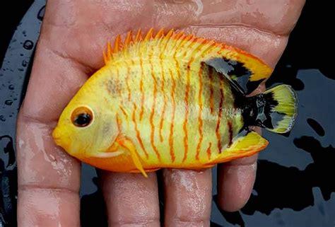 xanthic angelfish appears hong kong incredible pygmy eibl reefbuilders