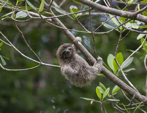 heres  sloths    good pets  sloth