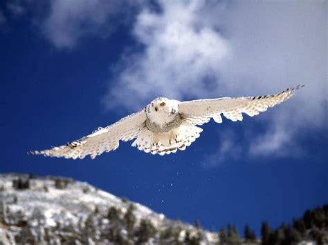 snowy owl snowy owls a white spot in a gray landscape