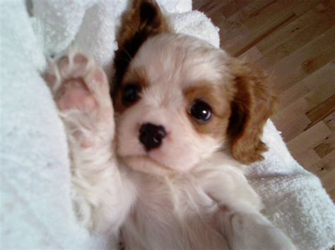 Filecavalier King Charles Dog Picture Jpg