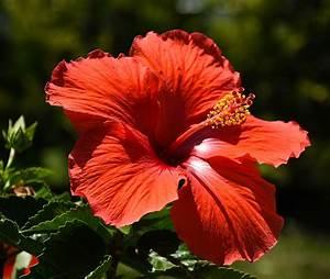Taille De L Hibiscus : hibiscus quand et comment le tailler ~ Melissatoandfro.com Idées de Décoration