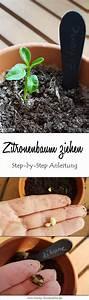 Indoor Grow Anleitung : zitronenbaum ziehen so einfach geht das aus einem zitronenkern gardening pinterest ~ Eleganceandgraceweddings.com Haus und Dekorationen