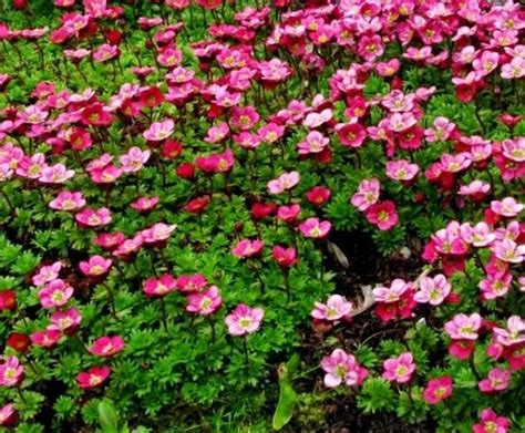 flowers for rockery south eastern horticultural alpine rockery perennial plug plants