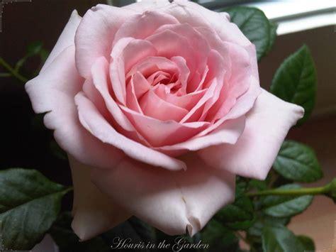light pink roses houris in the garden enchanting roses light pink