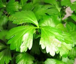 Sellerie Pflanzen Kaufen : schnittsellerie sellerie suppengew rz winterhart 100 samen ~ Michelbontemps.com Haus und Dekorationen