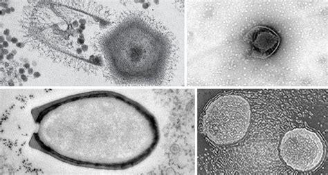 meet  giants  viruses science news