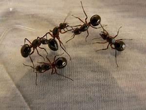 Hausmittel Gegen Mücken In Der Wohnung : ameisenbek mpfung im haus und wohnung ungeziefer ratgeber ~ A.2002-acura-tl-radio.info Haus und Dekorationen