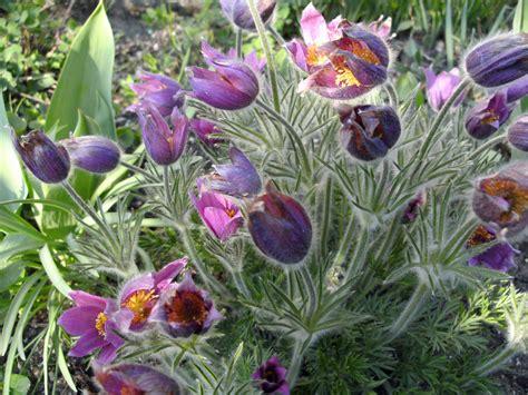 รูปภาพ : ปลูก, สีม่วง, เบ่งบาน, ดอกไม้ Pasque, พืชดอก ...