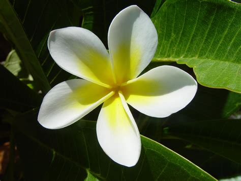 Fiore Flowers by White And Yellow Plumeria Flower Common Name Frangipani