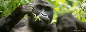 Experience Great Ape Conservation Up-Close - Wild Earth Allies