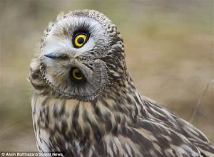 Owl that knows how to turn heads by turning its entire ...