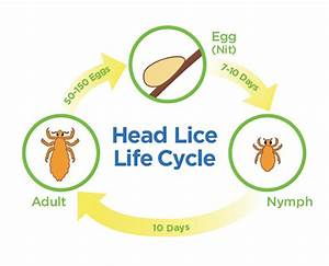 Life Cycle of Lice - when did my head lice infestation ...