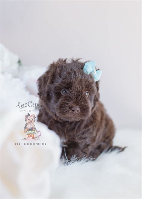 shih poo puppy  teacups puppies boutique
